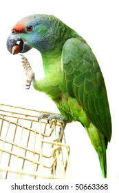 Festival Amazon parrot with a nut on the white background