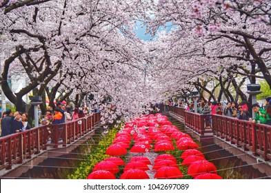festival cherry blossom at jinhae city korea: 4 april 2017 jinhae korea