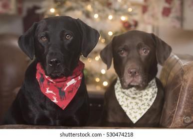 festive labradors