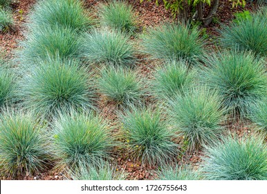 Festuca glauca, commonly known as blue fescue, is a species of flowering plant in the grass family, Poaceae.