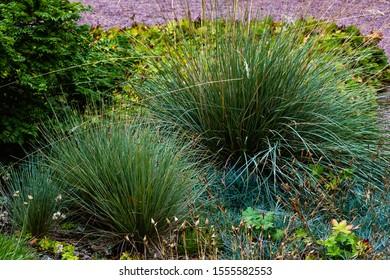Festuca glauca in garden. Ornamental grasses and herbs in the garden.