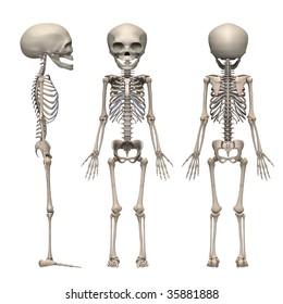 fetus skeleton