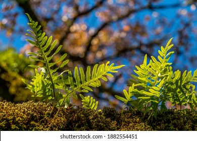 Fetus tree growing in a huge tree branch covered with moss. Fetus plants in the middle of the moss