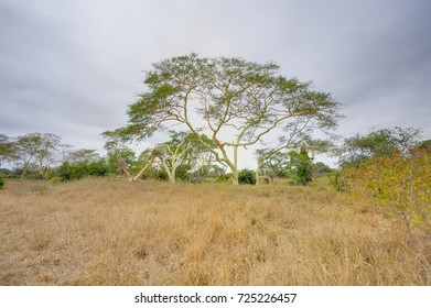 Fever Tree. An acacia that grows close to water. So called because early travelers in Africa who camped under them, contracted malaria, not from the trees, but from mosquitoes.