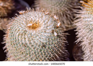 Few  balls cactus in a cooled indoor garden. Cactus spiky succulent green plants with spines