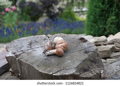 A few cepes on a tree stump in the garden.