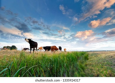 few cows on green pasture over blue sky, Netherlands