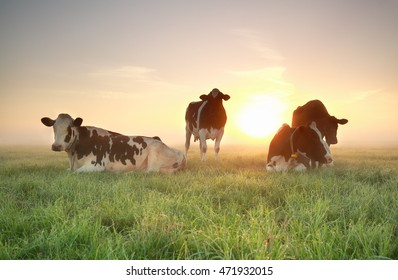 few cows on relaxed on pasture with sun behind and mist