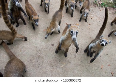 Few cute animals with tales up. The group of coati. Coatis begging food.