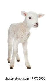 Few days old Lamb standing in front of a white background