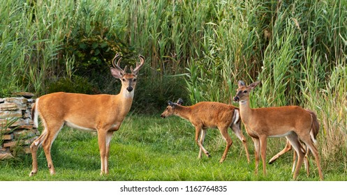 A few deer emerge from the tall grass looking for food as the sun gets ready to set on Long Island in the middle of August.