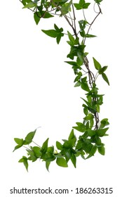 Few dense ivy (Hedera) stems isolated on white background. Creeper Ivy stem with young green leaves.