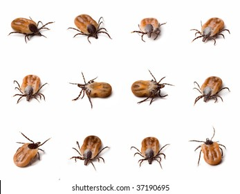 Few different shots of tick (Ixodes ricinus) on white background