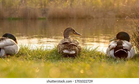 A few ducks chilling at a lake with the sun slowly setting