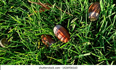 Few fallen acorns in the green grass in autumn. Stalkless acorns with the woody cup-shaped base. Fruit of an oak tree, consisting of a smooth thick-walled nut in a woody scaly oval base. acorn,
