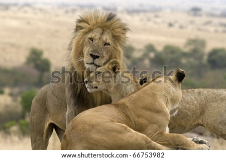 A few females in the pride greet the male lion upon his return.