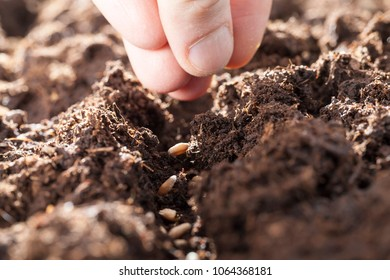a few fingers of a man's hand, which, in the prepared soil, sows a grain of wheat for a new crop, a closeup spring