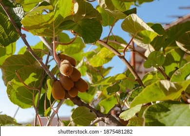 A few fruits on a branch with green leaves against the blue sky, used as a background or texture