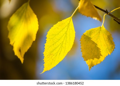Few golden leaves of birch tree hang on brown branch against blue sky in sun rays