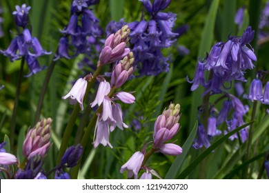 A few heads of a pink bluebells stand out against a background of blue bluebells and green foliage
