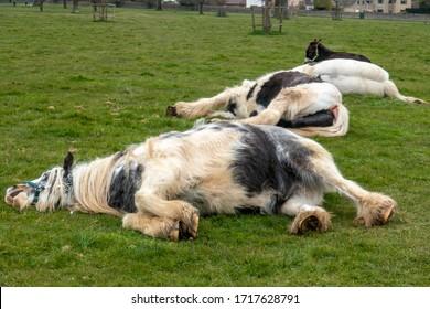 A few horses asleep on grassland