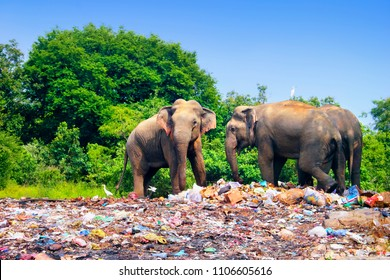 Few indian elephants walking near garbage dump against the background of blue sky and trees on the outskirts of Minneriya (Minneria) national park, Sri Lanka, South Asia