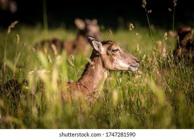 a few mouflons in nature park
