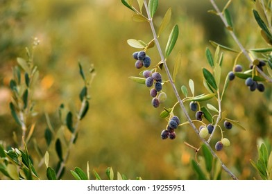 Few olives on the olive tree branch