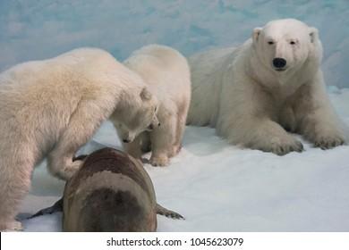 a few polar bears have hunted a seal