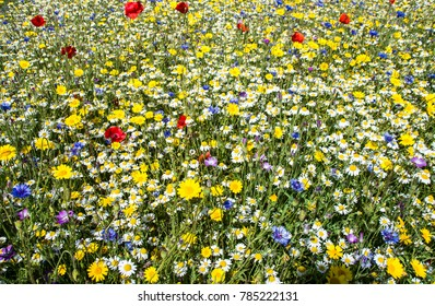 A few poppies and cornflowers but mainly daisies