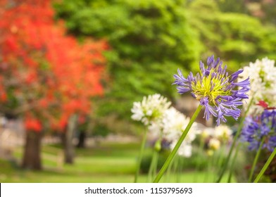 A few purple and white Agapanthus flower heads at Milson Park in North Sydney with red and green trees behind on a blurred background.