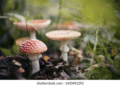 A few red mushrooms fly agaric in the autumn forest.