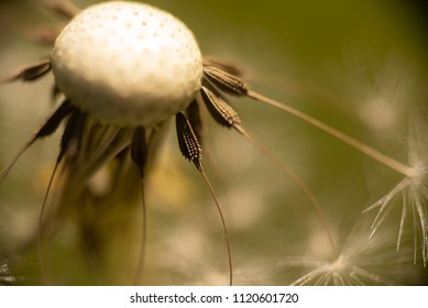 A few remaining dandelion seeds on the head of a dandelion.