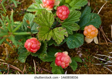 A few ripening cloudberries (Rubus chamaemorus). Season: Summer. Location: Western Siberian taiga.