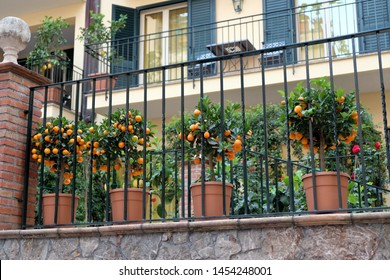 A few small trees Calamansi (Calamondin) on the terrace of the house in Taormina, Sicily, southern Italy.