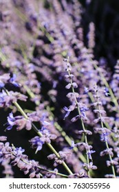 A few sprigs of blooming lavender plants in focus against many plants in selective soft focus all against black- great for background