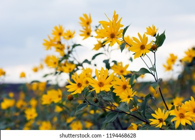 A few stems with many yellow heliopsis flowers against bluish sky