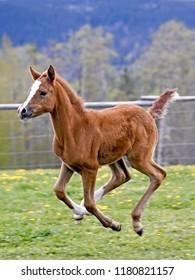Few week old playfull Arabian Colt galloping at spring pasture.
