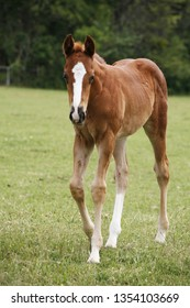 Few weeks old colt live on a summer pasture . Portrait of young beautiful foal playing on pasture