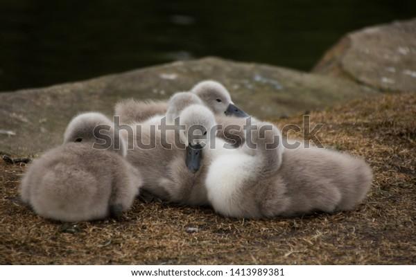 few-weeks-old-mute-swan-600w-1413989381.