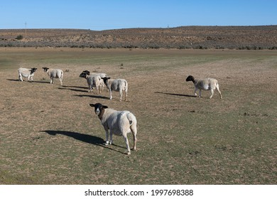 A few white dorper sheep grazing in an empty dam on a farm in the district of Williston in South Africa.