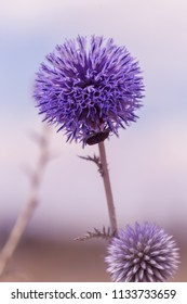 FHead flowers of blue thistle bloom in meadow. Flower heads, Blue thistle or milk thistle, Echinops spinosissimus Turra is European kind of plant in family of thistles in family of sunflower