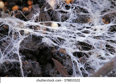 The fibers of the white fungus