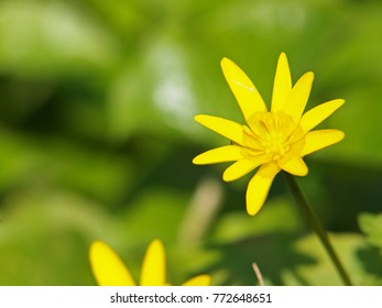 Ficaria verna, formerly Ranunculus ficaria, known as lesser celandine or pilewort