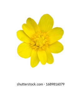 Ficaria verna. Lesser celandine. Ficaria verna isolated white background. Yellow flower bud on a white background.