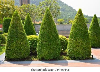 Ficus altissima tree, bush or shrub trimming