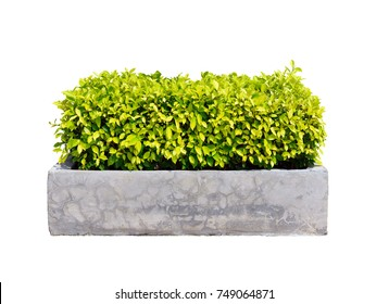 Ficus altissima tree in concrete planter isolated on white background for park or garden decorative with clipping path, bush or shrub trimming