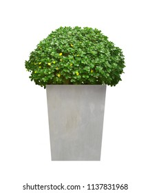Ficus annulata Blume tree in concrete plant pot isolated on white background with clipping path (Weeping fig, Ficus benjamina, Ficus microcarpa)