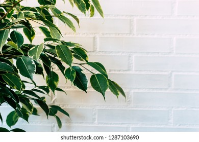 Ficus benjamín background with White space. It is named: Weeping fig, benjamin tree or ficus tree. a house plant