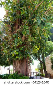 Ficus Bengali tree, Nazareth, Israel